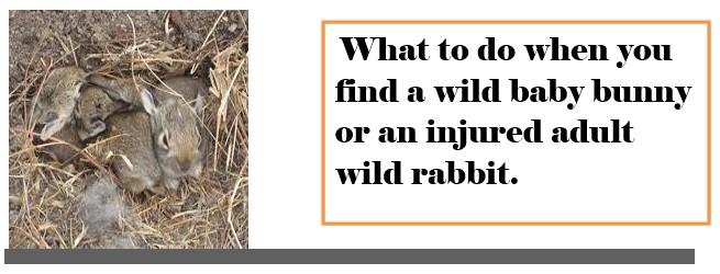 Wild Bunnies – Wisconsin House Rabbit Society